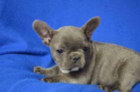 Foto 5 Französische Bulldogge mit Papiere – in Farbe blau, lavendel, weiß-blau