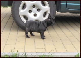 Foto 3 Französische Bulldogge mit Papiere FCI