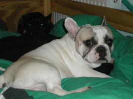 Französische Bulldogge mit Papiere, 2Jahre