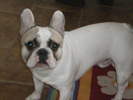 Foto 2 Französische Bulldogge mit Papiere, 2Jahre