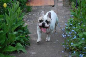 Foto 3 Französische Bulldogge mit Papiere, 2Jahre