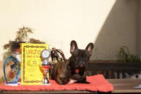 Foto 3 Französische Bulldogge Rüde