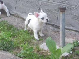 Französische Bulldogge Rüde Welpe