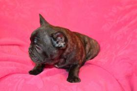 Foto 2 Französische Bulldogge mit Stammbaum