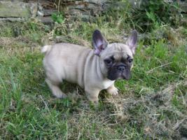 Französische Bulldogge mit Stammbaum FCI