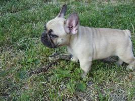 Foto 2 Französische Bulldogge mit Stammbaum FCI