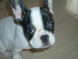 Foto 2 Französische Bulldogge Welpe