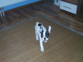 Foto 3 Französische Bulldogge Welpe