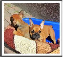 Französische Bulldogge-Welpen