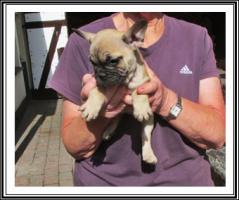 Foto 4 Französische Bulldogge-Welpen
