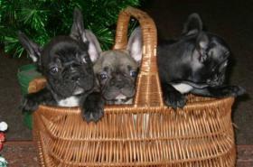 Foto 2 Franz�sische Bulldogge Welpen