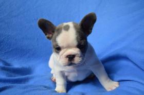 Foto 2 Französische Bulldogge blau mit Papiere