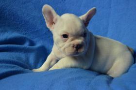 Foto 3 Französische Bulldogge blau mit Papiere