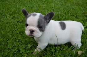 Foto 6 Französische Bulldogge blau mit Papiere