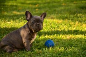 Französische Bulldogge blau mit Papiere abzugeben