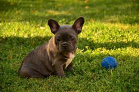 Foto 3 Französische Bulldogge blau mit Papiere abzugeben