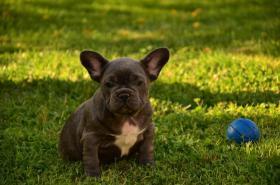 Foto 4 Französische Bulldogge blau mit Papiere abzugeben