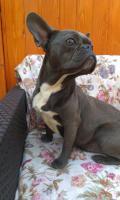 Foto 3 Französische Bulldogge blaue Hündin zu verkaufen!