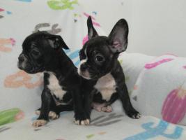 Französische Bulldogge ohne Pap. 3 Rüden Mini Mikro
