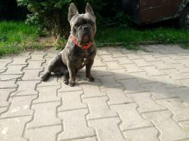 Foto 3 Französische Bulldogge ohne Pap. 3 Rüden Mini Mikro