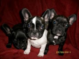 Foto 2 Französische Bulldogge- 3 Welpen