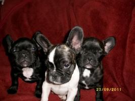 Foto 3 Französische Bulldogge- 3 Welpen