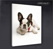Französische Bulldogge - Bild auf Leinwand