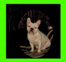Foto 2 Franz�sische Bulldogge * DECKR�DE