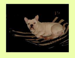 Foto 3 Französische Bulldogge * DECKRÜDE