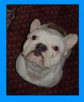 Foto 4 Franz�sische Bulldogge * DECKR�DE