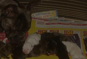 Foto 5 Franz�sische Bulldogge * DECKR�DE