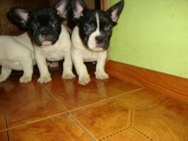 Franz�sische Bulldogge / Frensh Bulldog / Bully Welpen