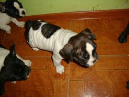 Foto 2 Franz�sische Bulldogge / Frensh Bulldog / Bully Welpen