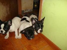 Foto 4 Franz�sische Bulldogge / Frensh Bulldog / Bully Welpen