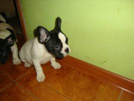 Foto 5 Franz�sische Bulldogge / Frensh Bulldog / Bully Welpen
