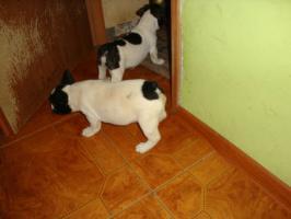 Foto 6 Franz�sische Bulldogge / Frensh Bulldog / Bully Welpen