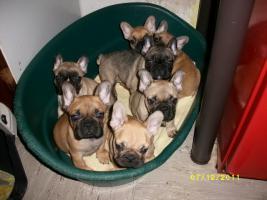 Foto 4 Französische Bulldogge - Welpen, selterne farbe !!!!!
