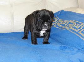 Foto 3 Französische Bulldogge, reinrassige, Welpen
