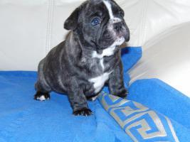 Foto 4 Französische Bulldogge, reinrassige, Welpen
