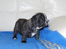 Foto 5 Französische Bulldogge, reinrassige, Welpen