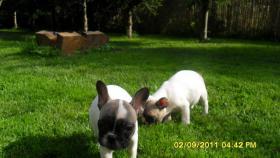 Foto 2 Franz�sische Bulldoggen