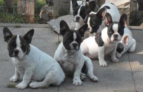 Foto 3 Franz�sische Bulldoggen