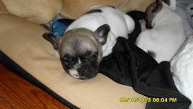 Foto 3 Französische Bulldoggen aus Championatsverpaarung T.01722357659