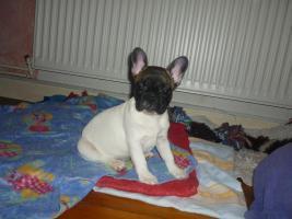 Französische Bulldoggen aus Championatsverpaarung T.01722357659