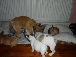 Foto 3 Franz�sische Bulldoggen aus Championsverpaarung t.01722357659