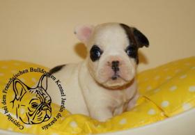 Französische Bulldoggen Hündin aus deutscher Zucht