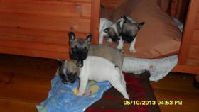 Foto 2 Französische Bulldoggen in Laage Tel.01722357659