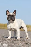 Foto 4 Französische Bulldoggen Welpen