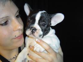 Foto 2 Franz�sische Bulldoggen Welpen