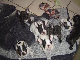 Foto 3 Franz�sische Bulldoggen Welpen